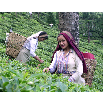 Tea documentary review