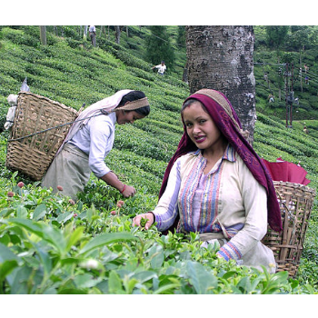 "Review ""The dark side of tea trade"" documentary"